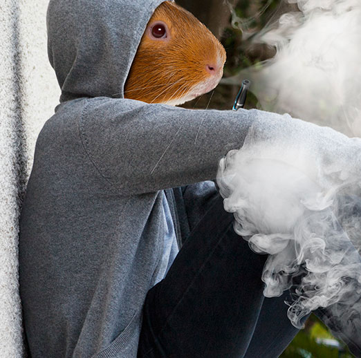 Guinea pigs main mobile